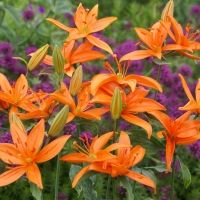 'L. tsingtauense' (Species or wild Lily)