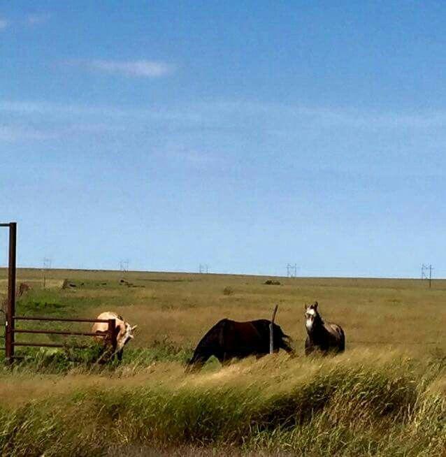 Flint Hills ranch horses