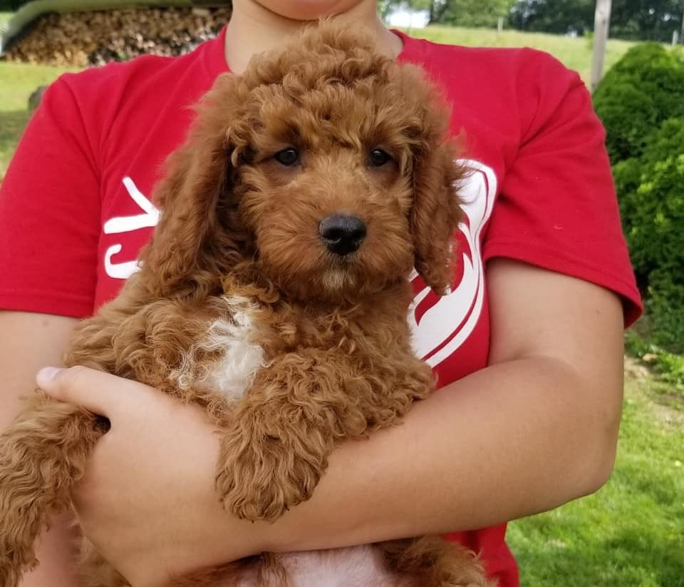 Goldendoodle Puppies For Sale Los Angeles Ca In 2020 Puppies For Sale Goldendoodle Puppy Goldendoodle Puppy For Sale