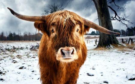 Bull Cows Wallpaper Id 1226716 Desktop Nexus Animals Cow Wallpaper Cow Pictures Cow