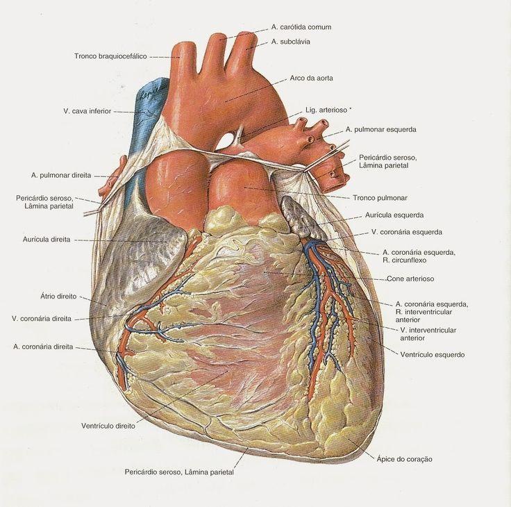 heart - Sobotta atlas of human anatomy | special needs education ...