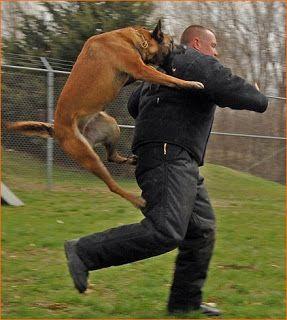 Yikes Police Dog In Training Mwd K9 Dog Attack Dog Training