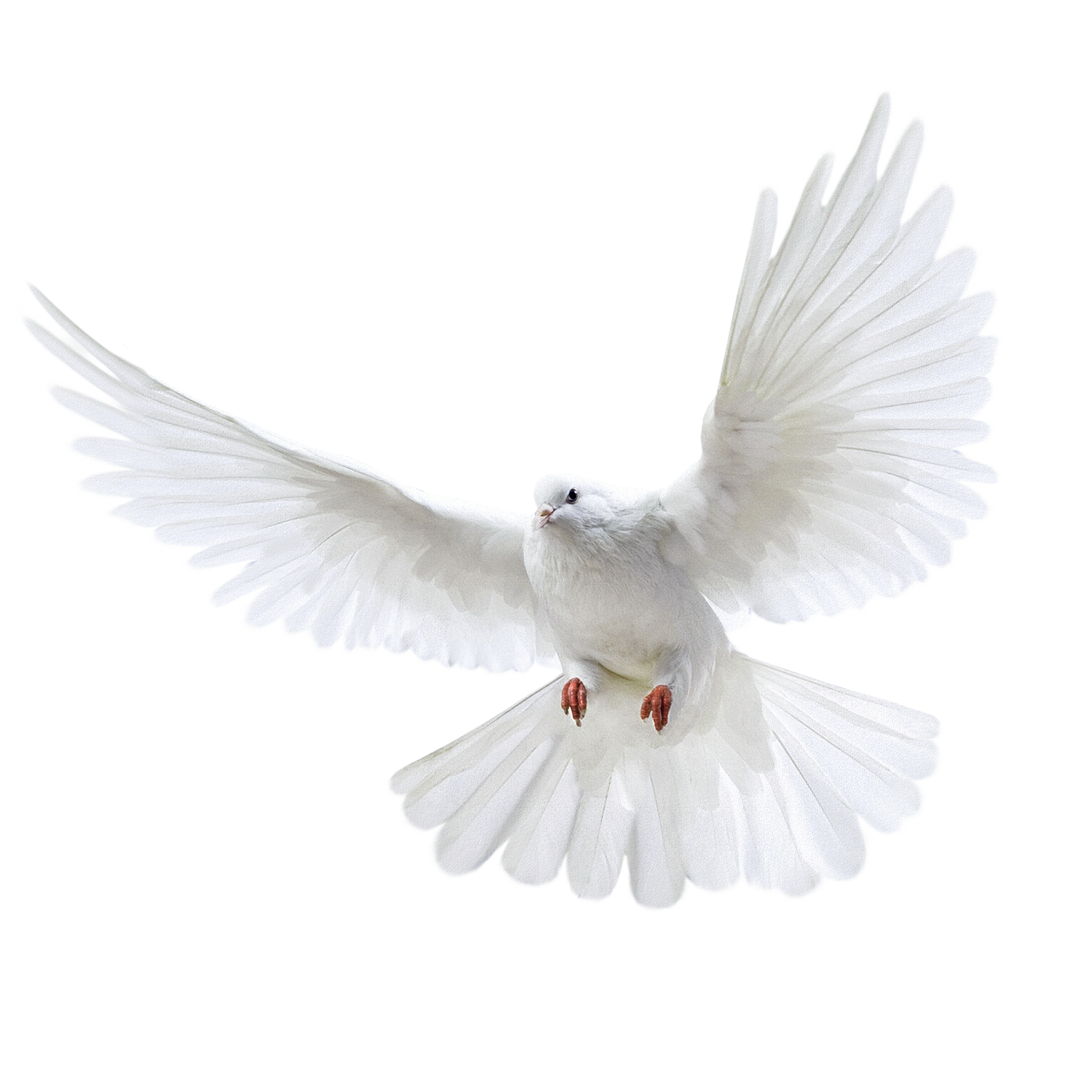 Pin By Guardians Graphics On Bird White Pigeon Flying Pigeon White Bird