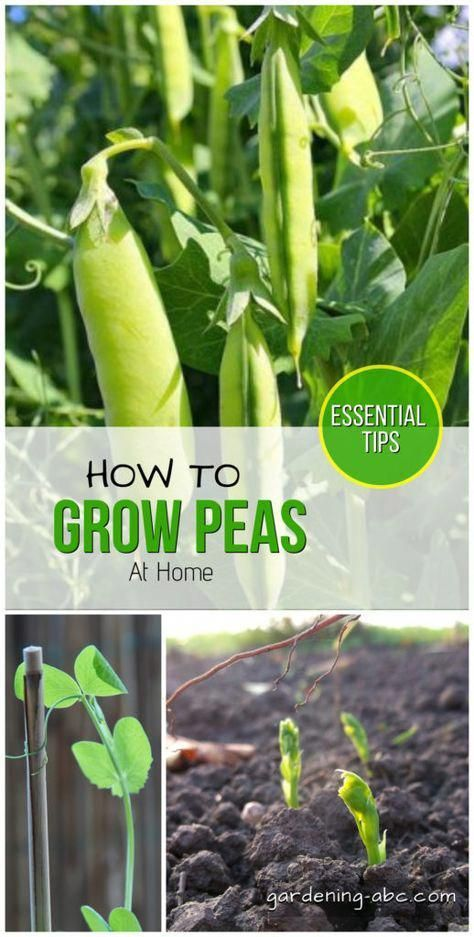 How To Grow Peas At Home A Simple Pea growing guide is part of Growing peas, Organic vegetable garden, Home vegetable garden, Organic gardening tips, Growing vegetables, Garden pests - Peas are a cool climate plant  It prefers sandy loam soil with a great drainage facility  A pH level of 6 5 to