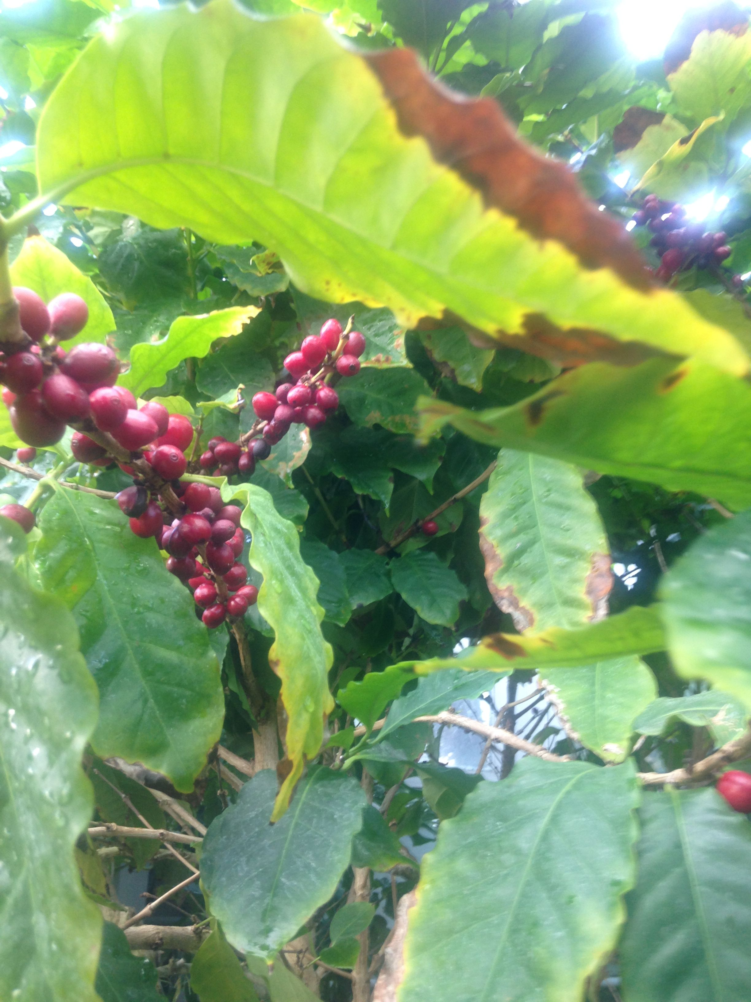 Coffee beans with images container gardening plants