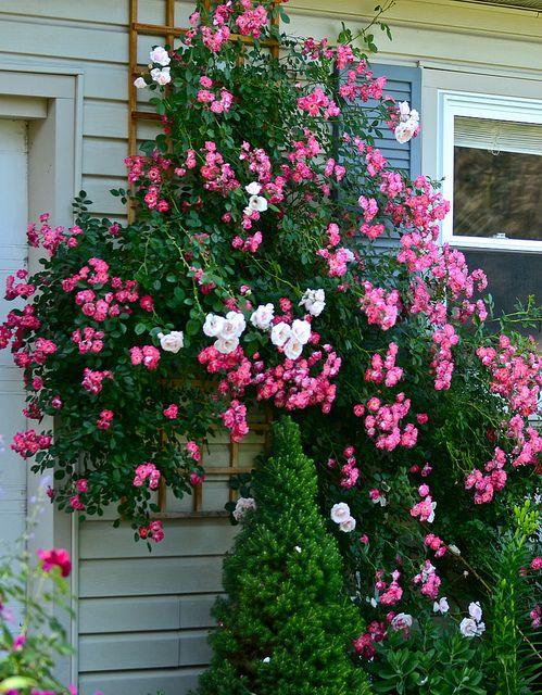 New dawn pink supreme flower carpet flowers and gardens new dawn pink supreme flower carpet rose mightylinksfo
