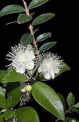 A Sprig Of Myrtle Has Been Included In The Royal Bridal Bouquet Since 1840 When Queen Victoria Had It Picked From The Myrtle Tree Edible Roses Virtual Flowers