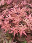Japanese Maple UNCLE GHOST  #plants #seeds #japanesemaple