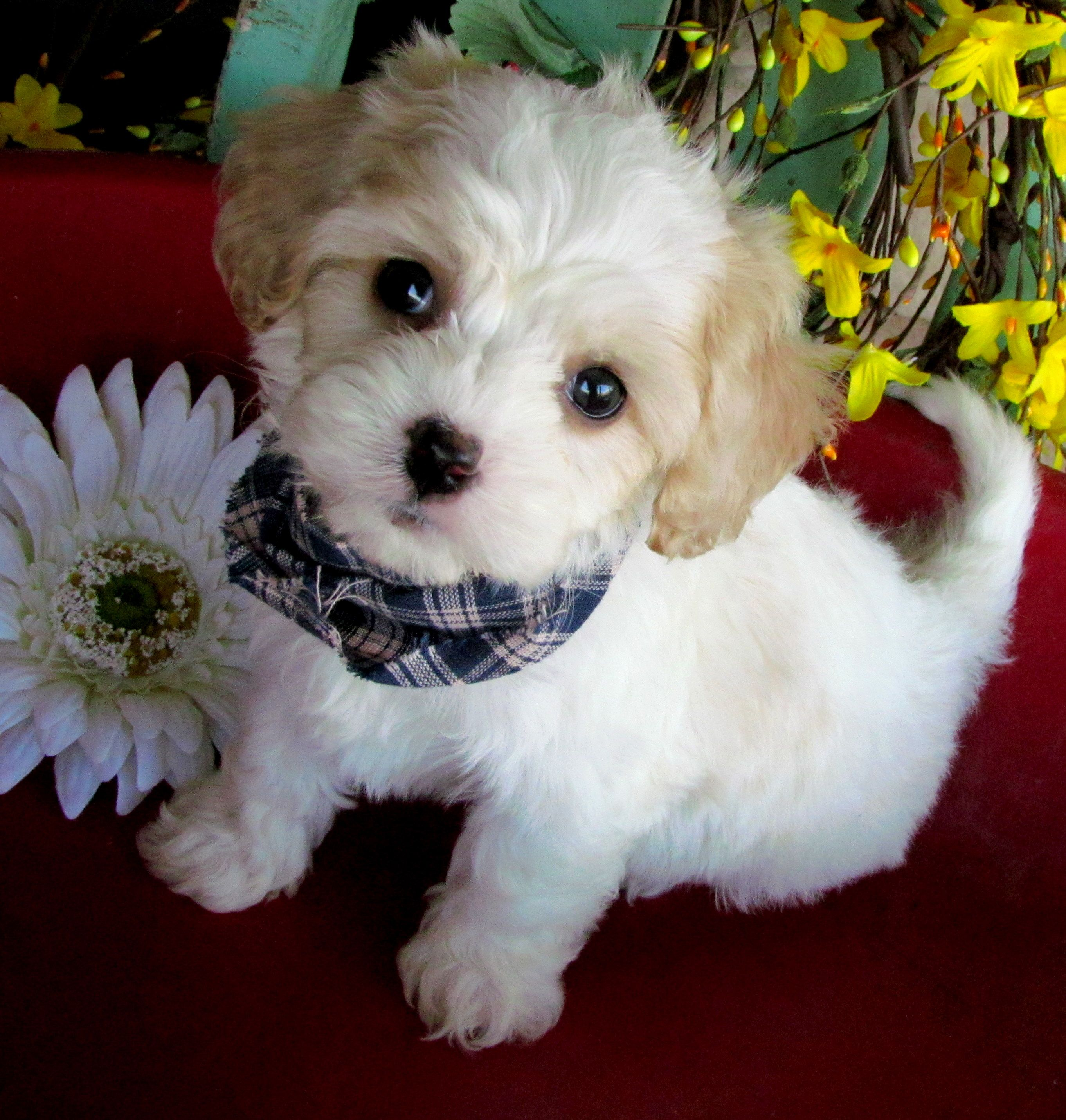 www cavachonsbydesign com Cavachon puppies for sale, Cavachon