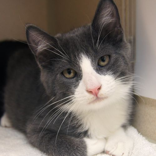 Adopted Galaxy Is A 3 1 2 Month Old Neutered Male Gray And