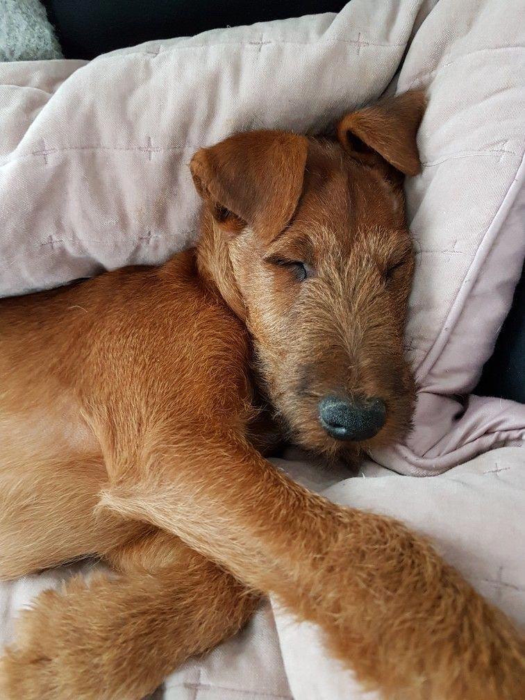 Resplendent Dog Irish terrier, Irish terrier puppies