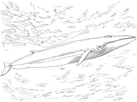 Fin Or Finback Whale Finback Whale Fin Whale Whale