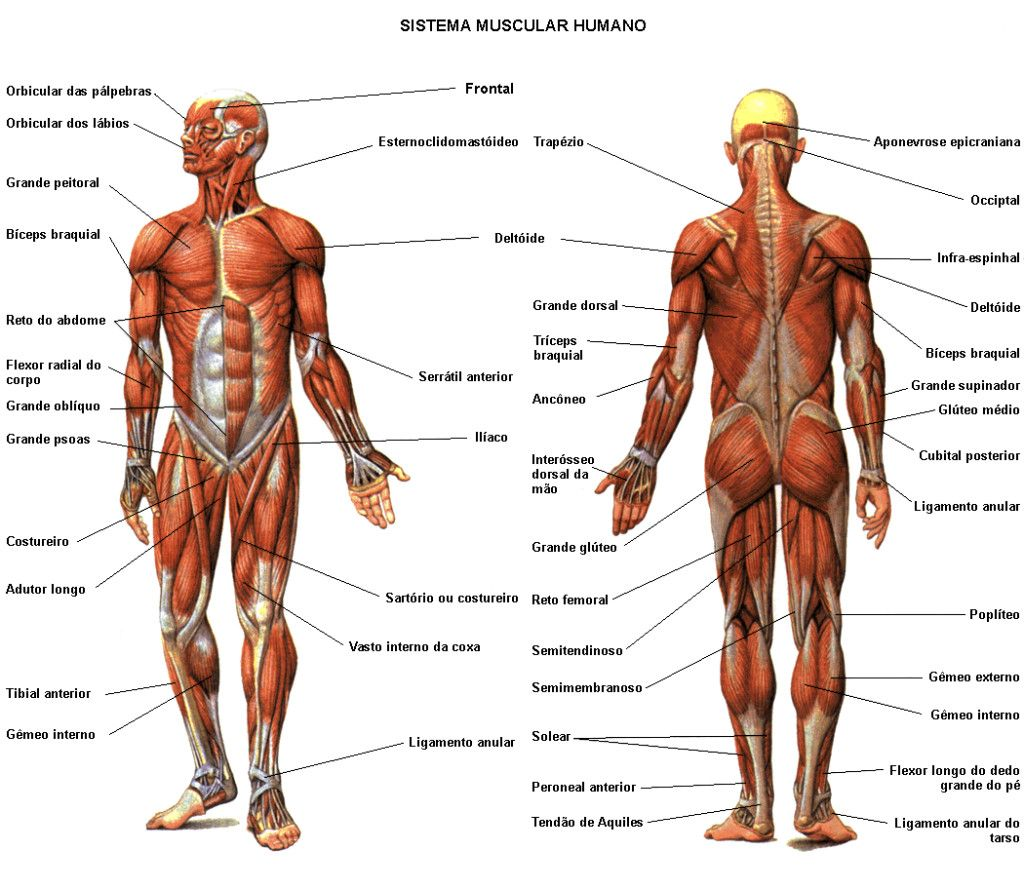 Diagram Of Human Muscles System Human Muscular System Diagram