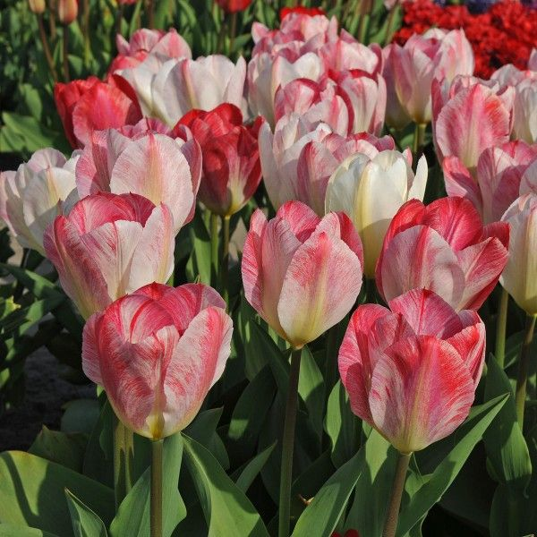 Pin On Tulips