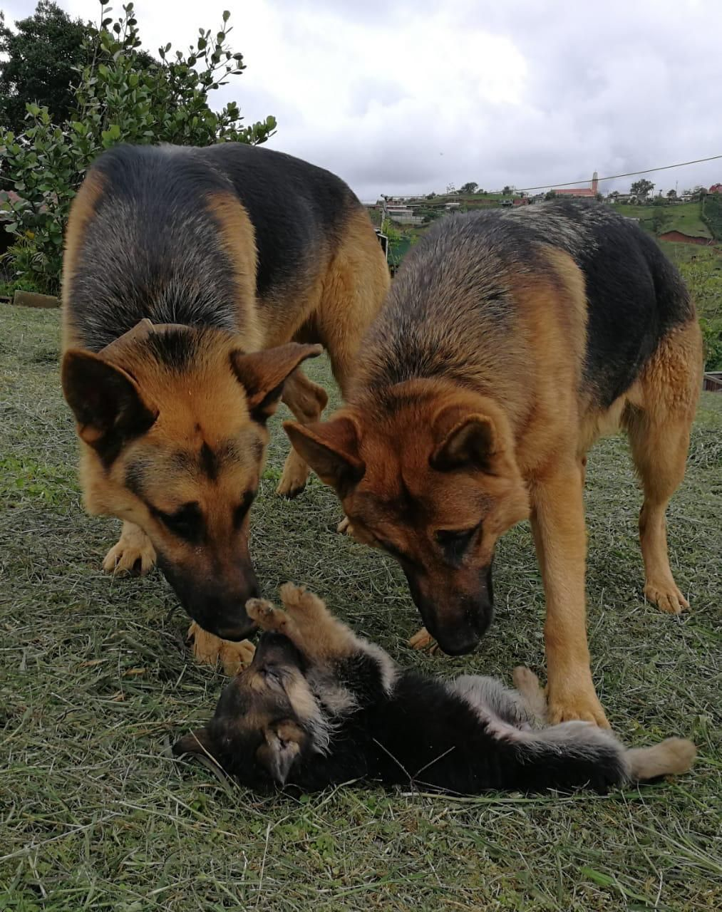 Baby German Shepherd With His Parents Dogs Pets Puppy Puppies