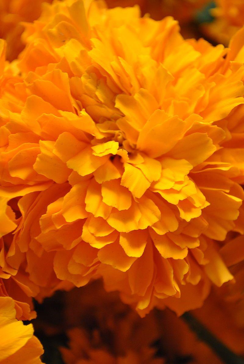 Cempasuchil - Day of the Dead - Mexican cempasúchil (marigold) is ...