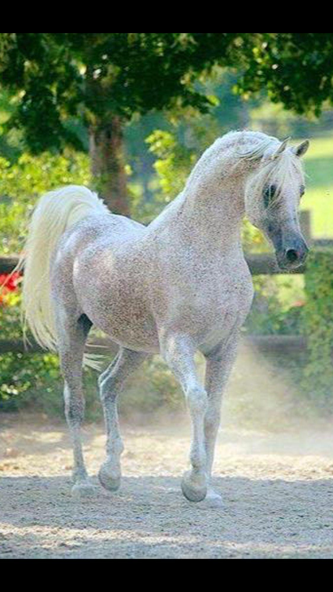 Flea Bitten Arabian | Horses | Pinterest | Caballos, Gris y Animales