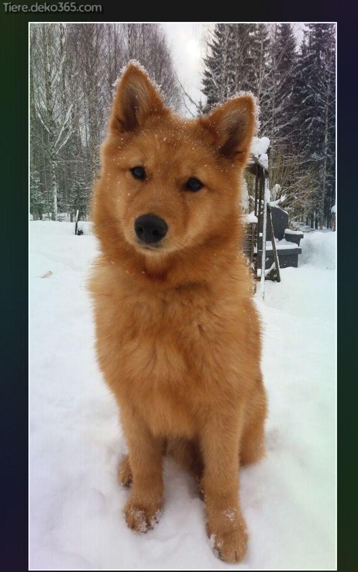 Photo of Finnish Spitz dog breeds – tiere.deko365