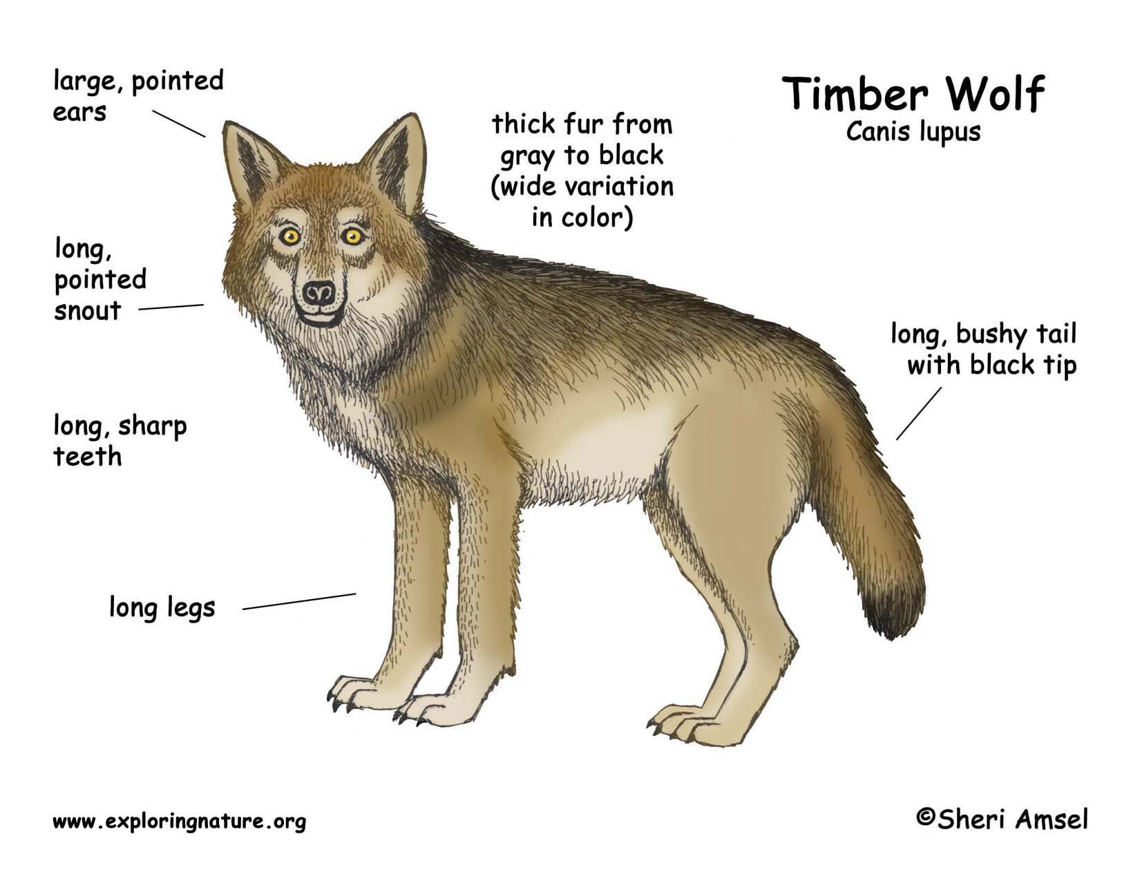 medium resolution of river otter diagram wolf timber wolf or gray wolf