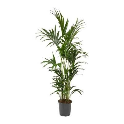 howea forsteriana kentia palm elegant houseplants pinterest plants ikea and indoor plants. Black Bedroom Furniture Sets. Home Design Ideas
