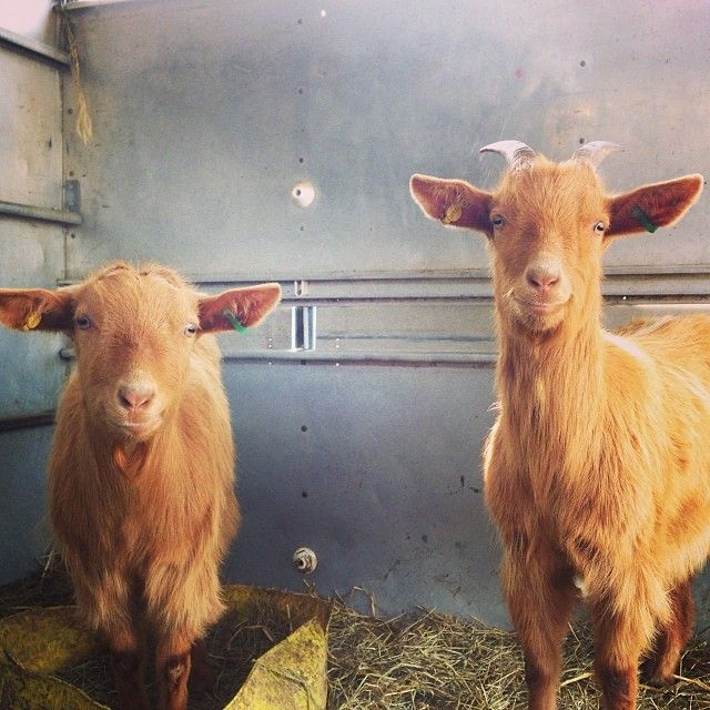 Our Golden Guernsey Goats! www.roamingroosters.co.uk