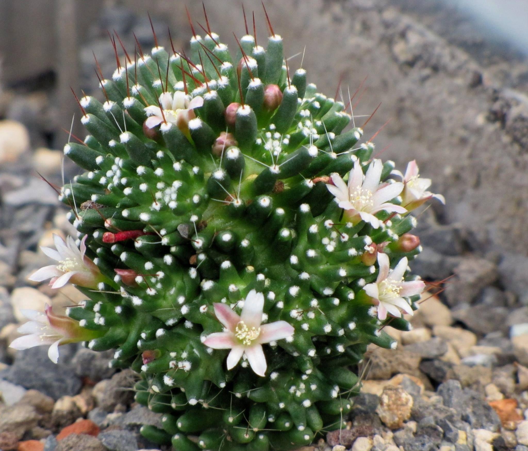 Mammillaria painteri cactus pinterest for Informacion sobre el cactus