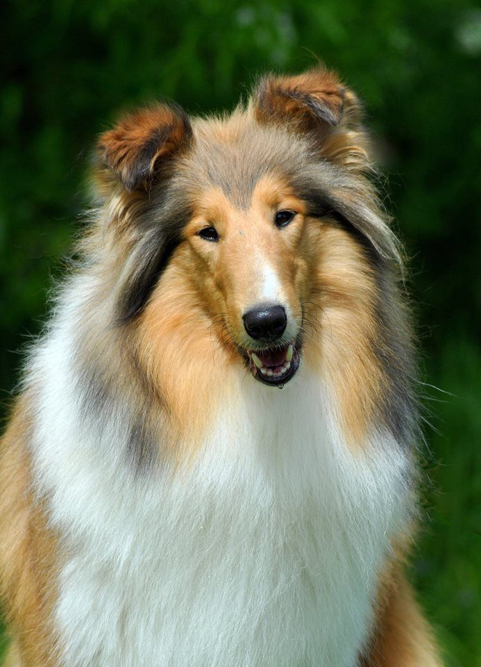 Beautiful Long Haired Collie Collie Dog Sheltie Dogs Beautiful