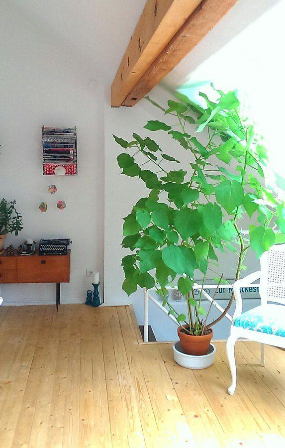 Draussen Grau Drinnen Gemutlich Der Februar Auf Zimmerlinde Zimmerpflanzen Und Pflanzen