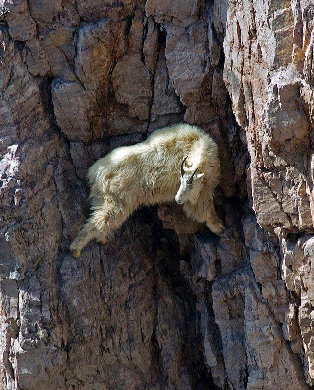 Sorprendentes fotografías de cabras escaladoras que desafían a la ...