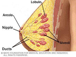 Anatomy of the breast - SlideShare