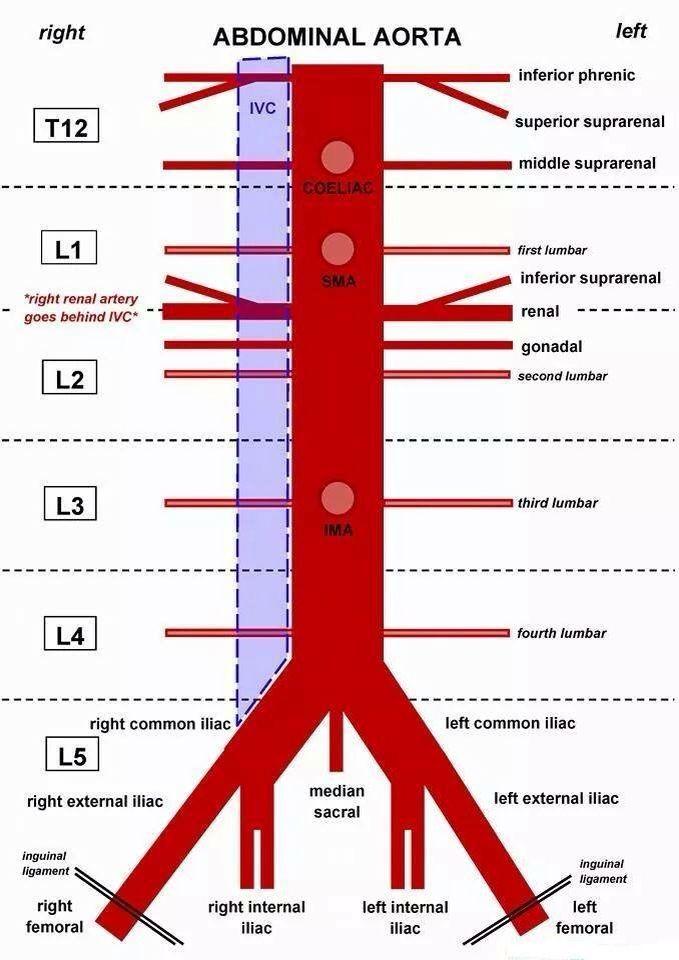 Derivaciones arteriales | Passion | Pinterest | Anatomy, Med school ...