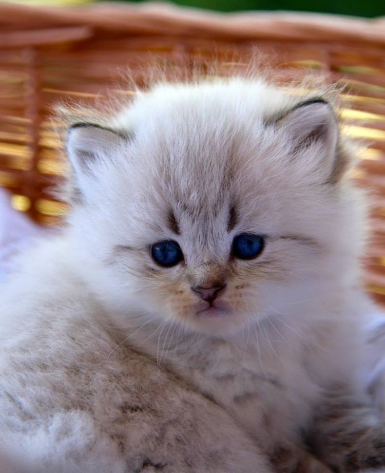 Pin by laura boedeker on cats kittens and friends chaton chat calin chat - Chaton trop chou ...