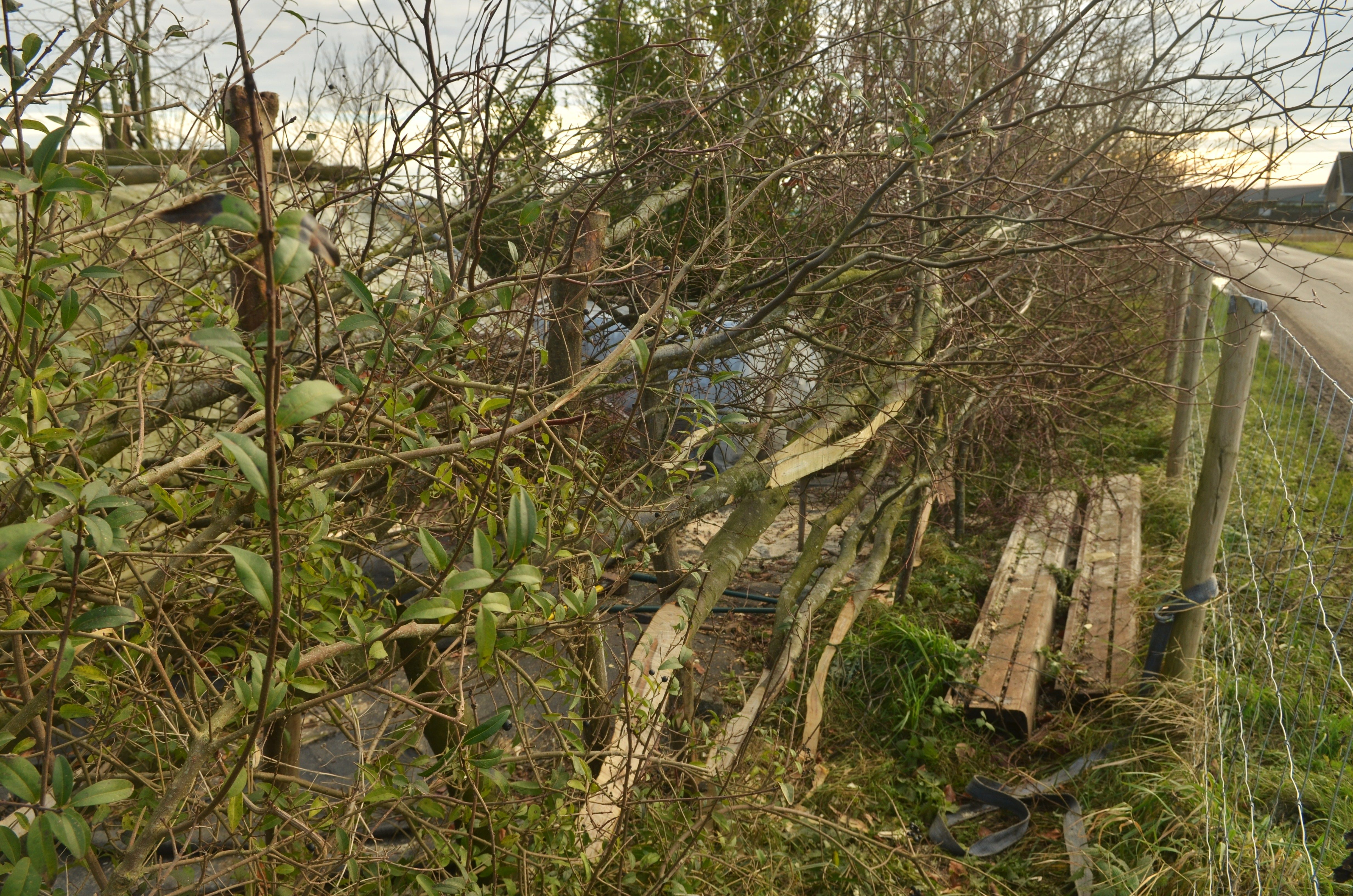 '13/12/12 Laying the hornbeam hedge in my garden @ Flanders fields, Belgium. F. Neirinck