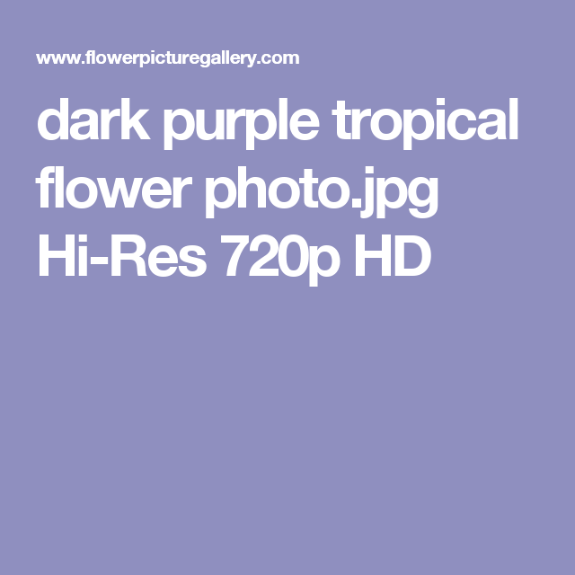 Dark Purple Tropical Flower Photo Hi Res 720p HD