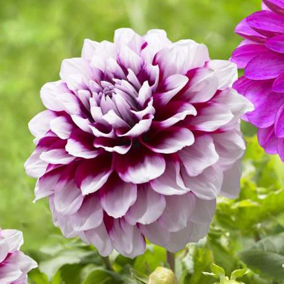 Dahlia Aitare Diadem Bred In Australia This Bicolor Dahlia Has Very Full 5 Dahlia Flower Outdoor Flowers Bulb Flowers