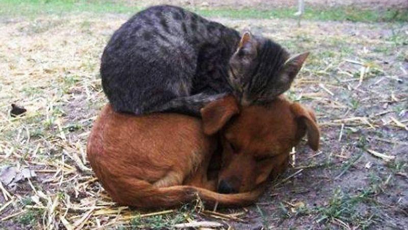 Katzen Die Hunde Als Kissen Verwenden Sie Wissen Wie Sie Bequem Liegen Tiere Schlafende Tiere Hunde Schlafen