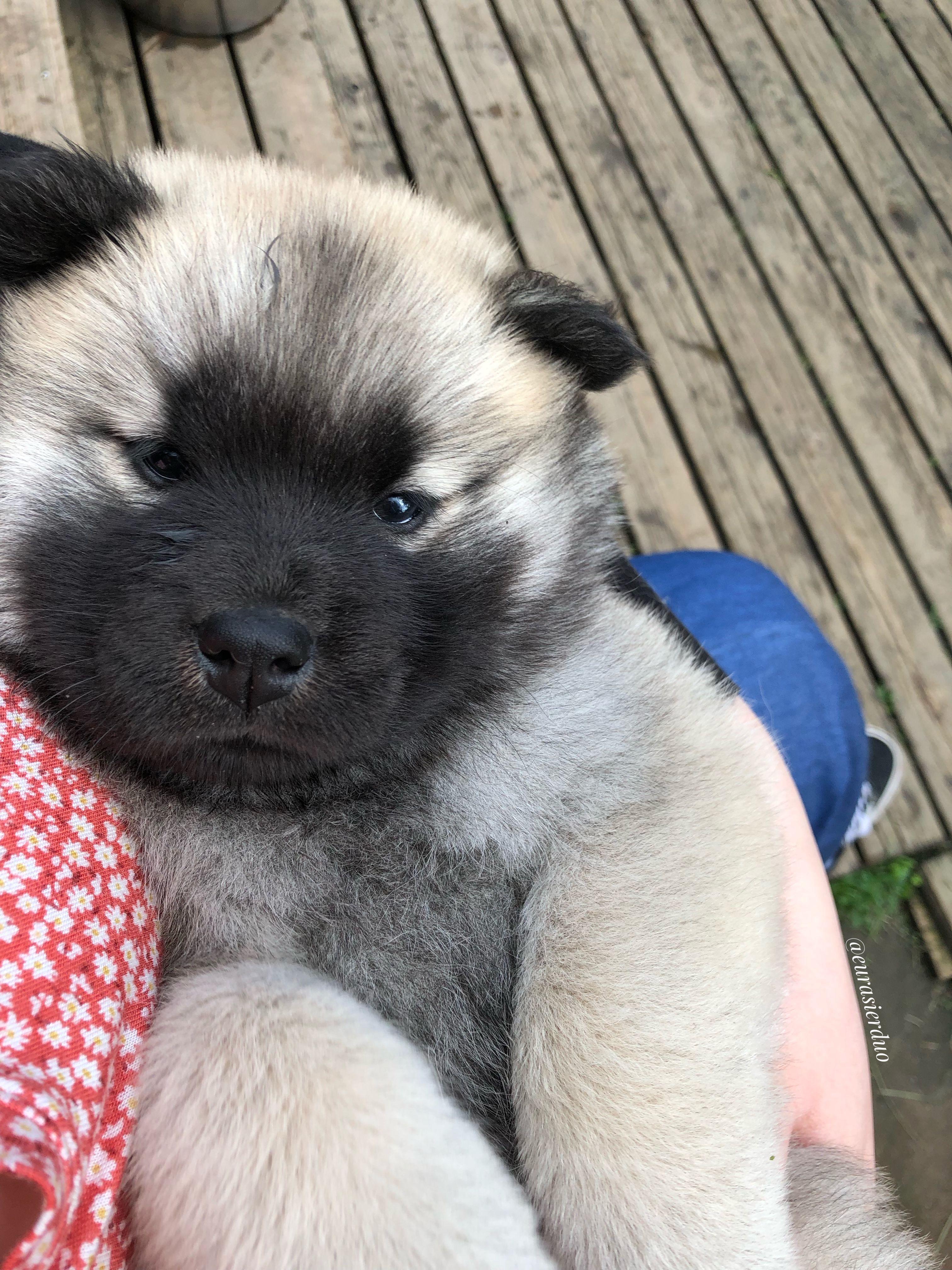 eurasier dog puppy fluffy puppy karhunpesän