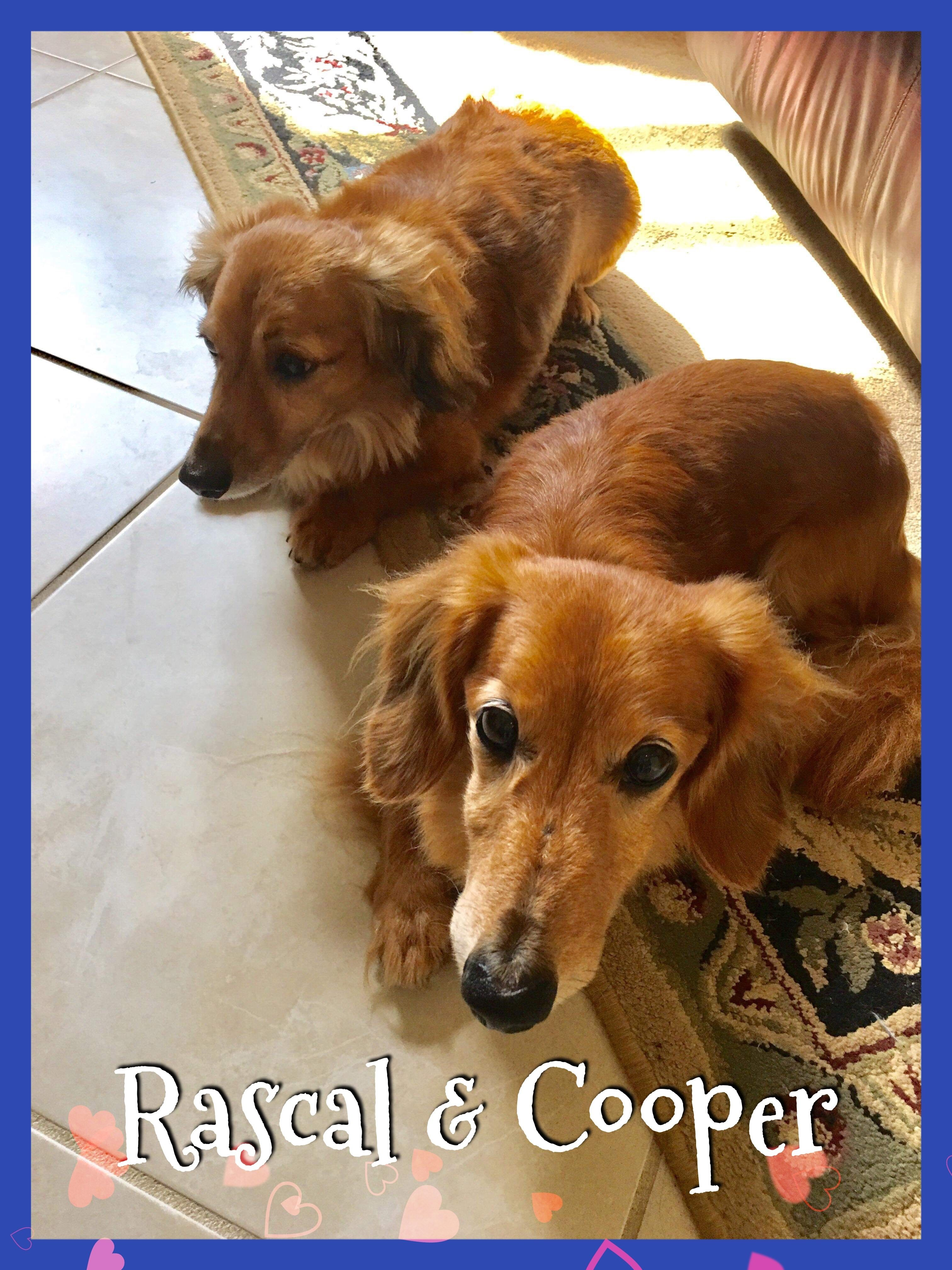 Adopt Cooper Rascal On Dachshund Rescue Dogs Dachshund Dog