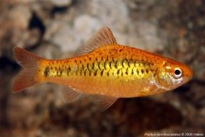 Gold Barb Barbodes Semifasciolatus Aquarium Fish Freshwater Fish Fish Pet