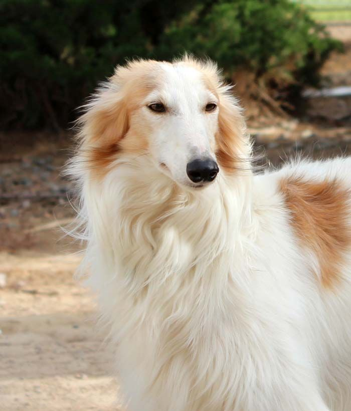 Welcome To Tangaloor Silken Windhounds Dogs Of The World Borzoi Dog Beautiful Dogs