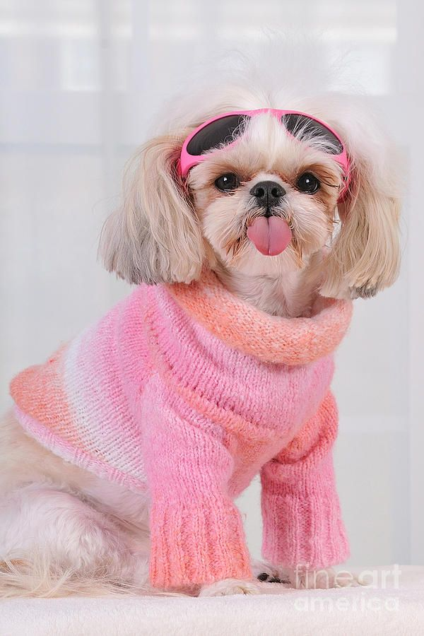 No I Will Not Smile By Anne Kitzman Shih Tzu Cute Animals Puppies