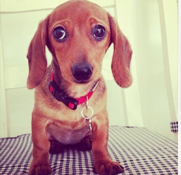 Pin By Holls On Cutieeeeees Funny Dachshund Dogs Dachshund Quotes