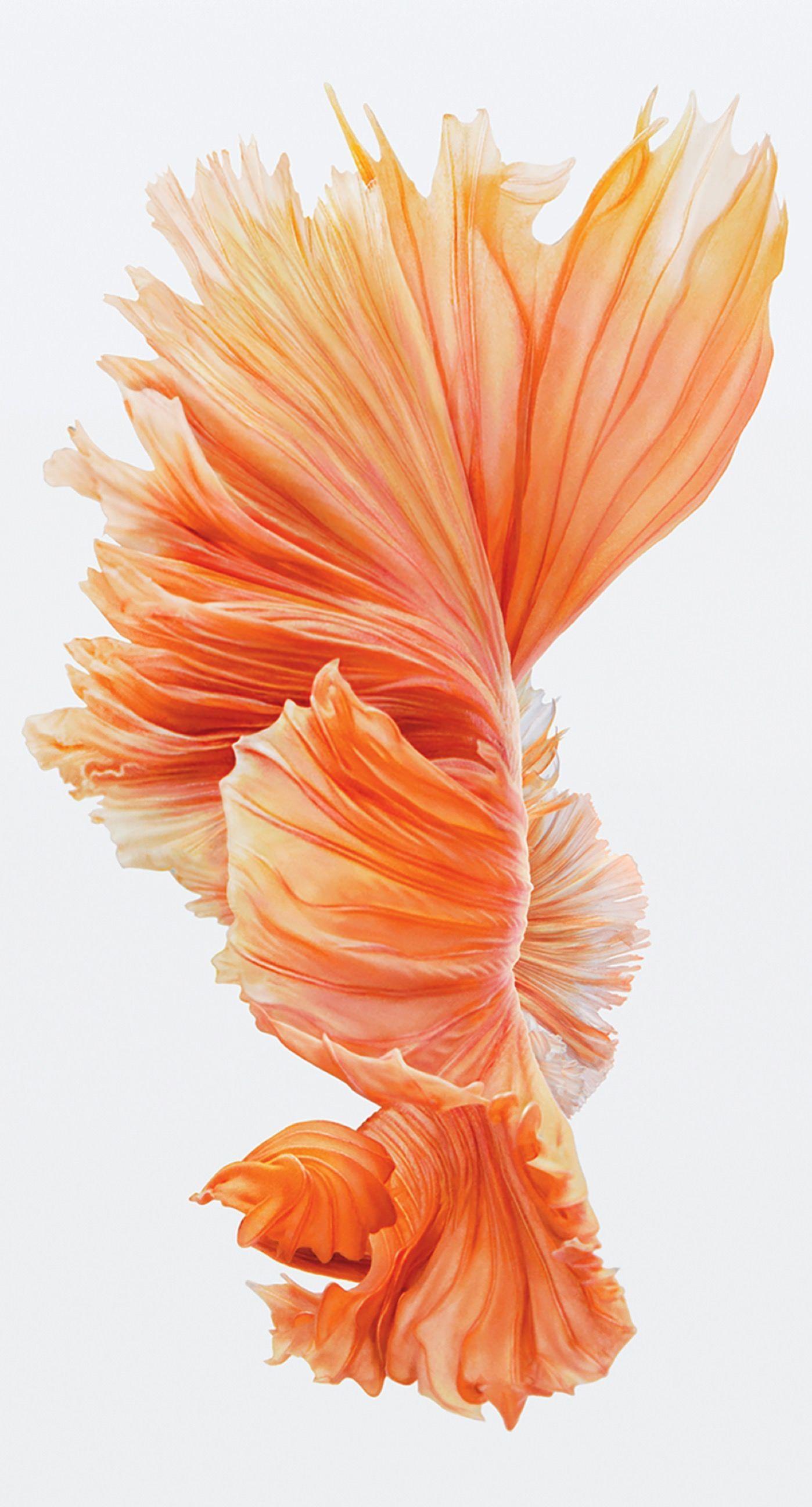 Fish Red Iphone6splus Cool Wallpaper Sc Iphone6splus In 2020 Abstract Iphone Wallpaper Iphone 6s Wallpaper Ios 10 Wallpaper