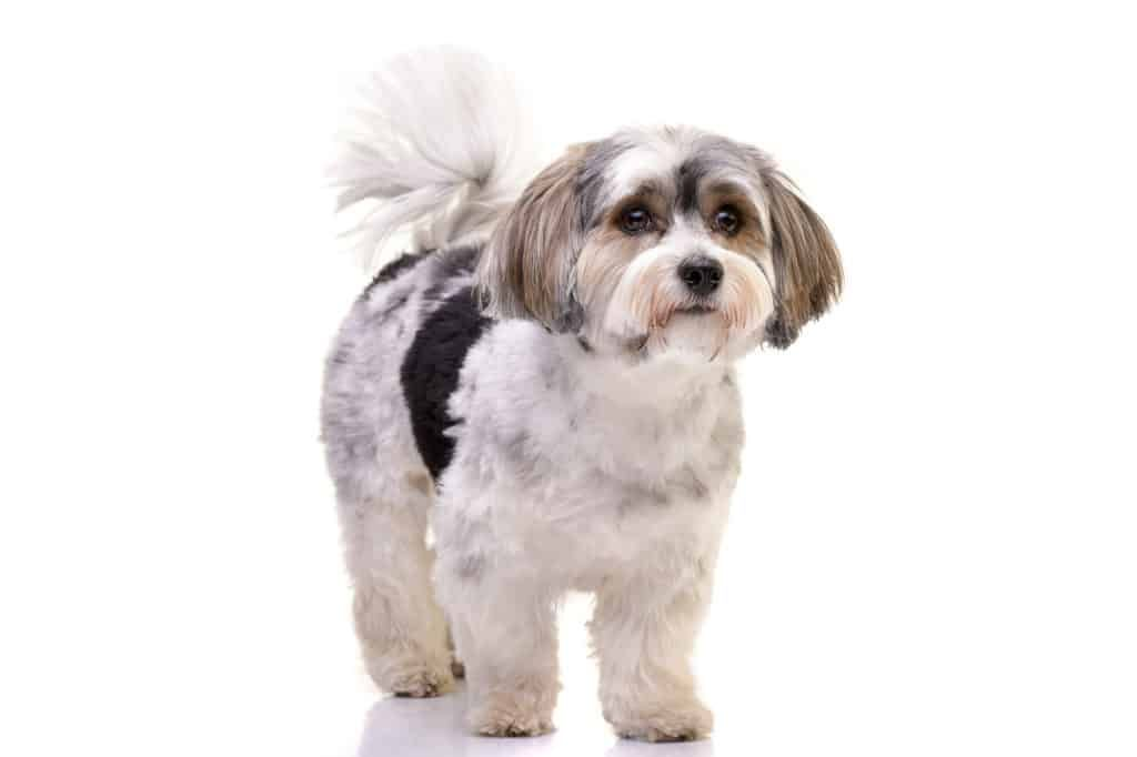 Havaneser Hund (Charakter, Ernährung, Pflege) in 2020
