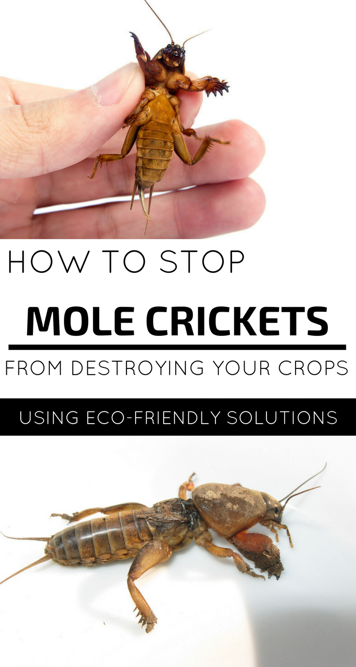 How To Stop Mole Crickets From Destroying Your Garden Using Eco Friendly Solutions Mole Cricket Mole Getting Rid Of Crickets