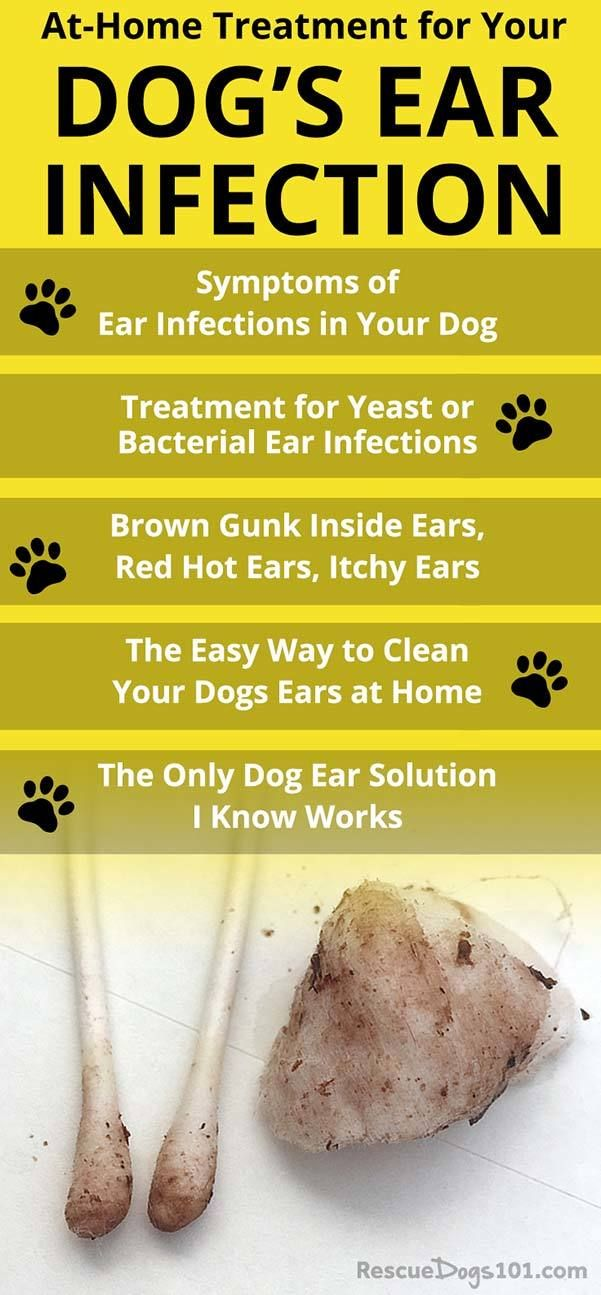 Discover how to treat your dogs ear infection without going to the vet the number one secret to getting rid of your dogs ear infection at home is overthecounter dog ear i...