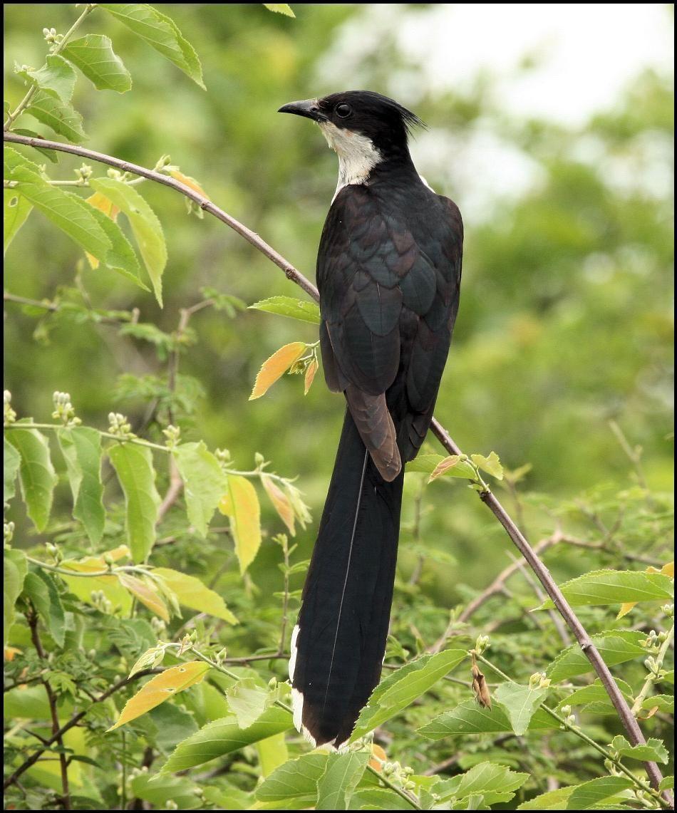 Levaillant's Cuckoo - K.JPG (950×1141)