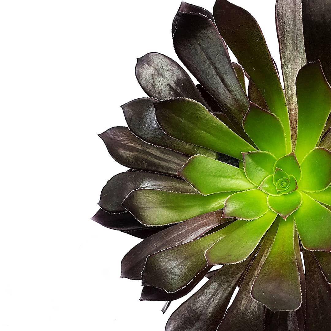 Aeonium Arboreum De Mi Familia De Suculentas Favorita