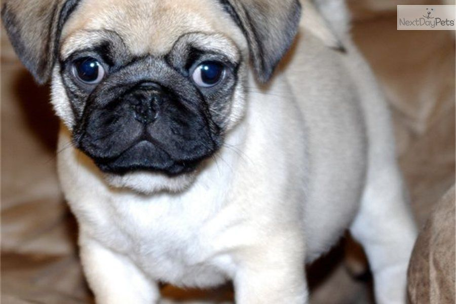 Pup Petmd Puppy New Dog Or Names For A Pug Puppy Native American