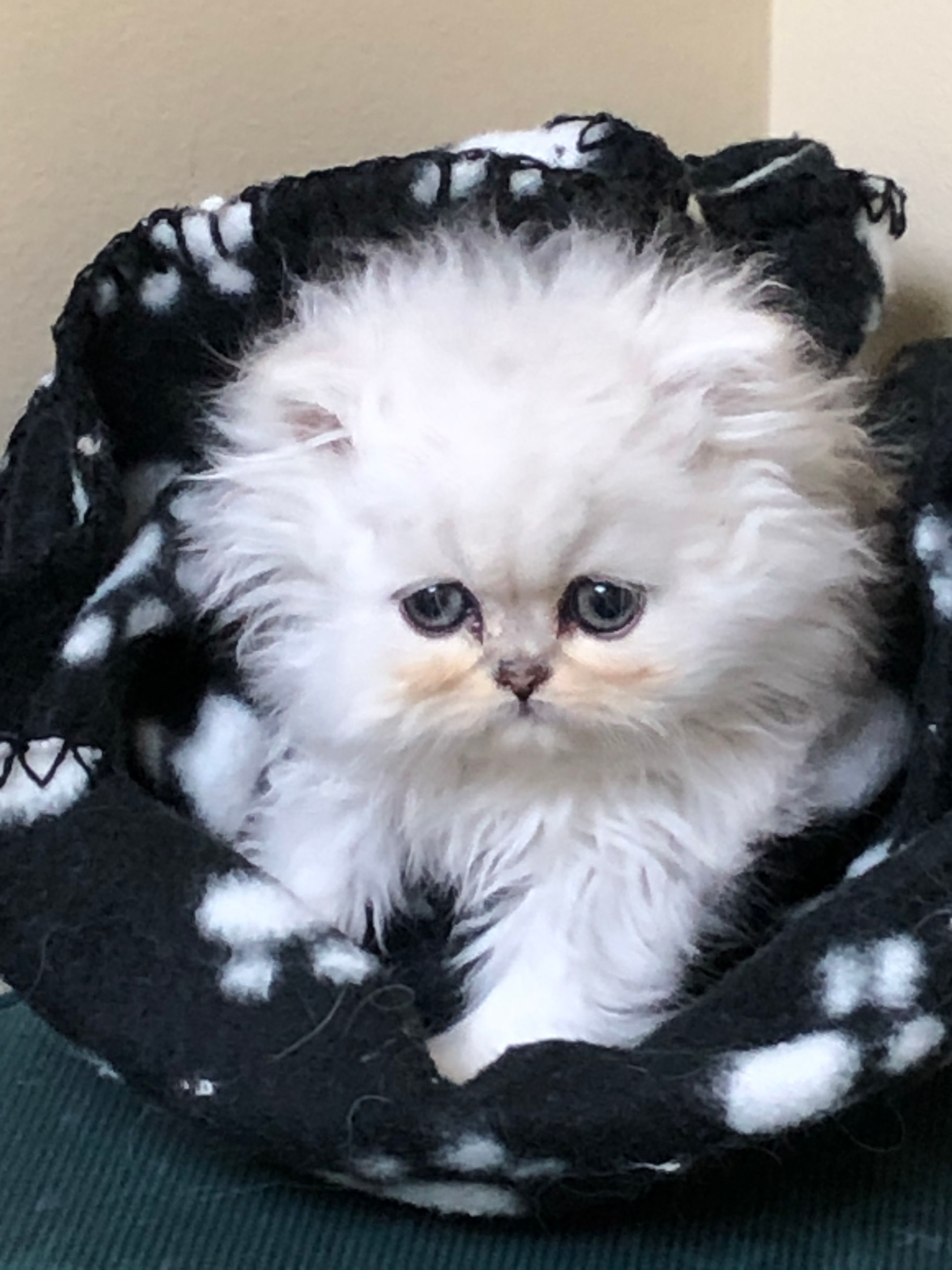 Powderpuff Kittens Are Ready To Go Two Left Teacup Persian Kittens Persian Kittens Christmas Kitten